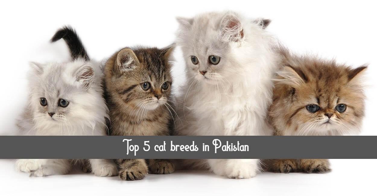 Top 5 Types Of Cats In Pakistan Top 5 Cat Breeds In Pakistan Petshub